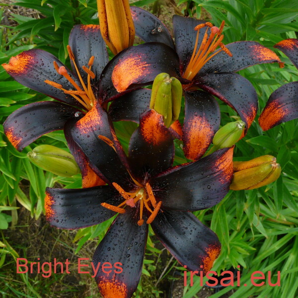 Bright E titul